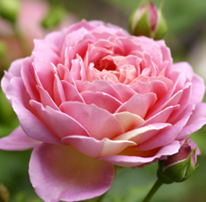 Rose Oil (Hydro Distilled) Absolute Oil 2