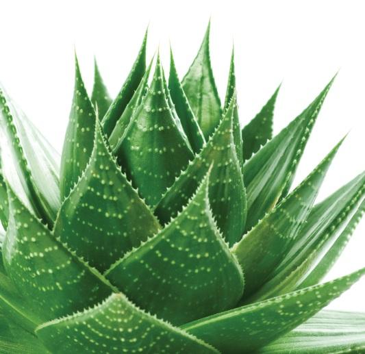 Aloe Vera Oil 3