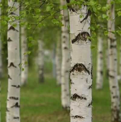 Birch Sweet Natural Blend Essential Oil 3