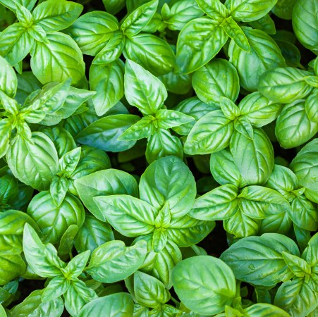 Sweet basil Oil  2