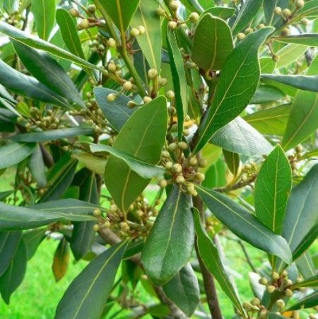 Bay Leaf Essential Oils 4