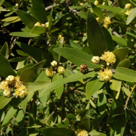 Bay Leaf Essential Oils 2
