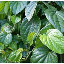 Betel Leaf Essential Oils 2