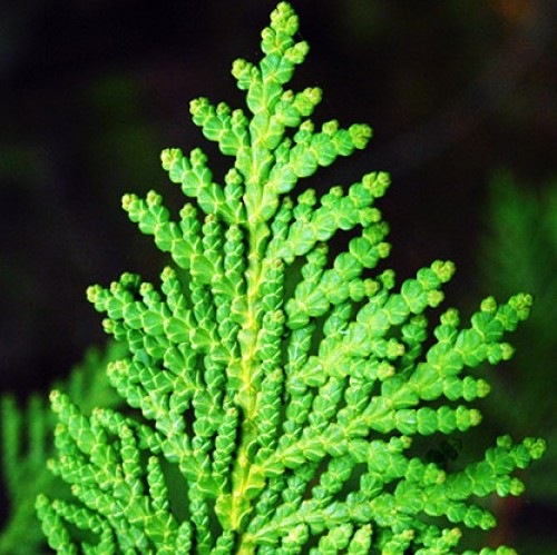 Cedar Leaf Thuja Essential Oil 5