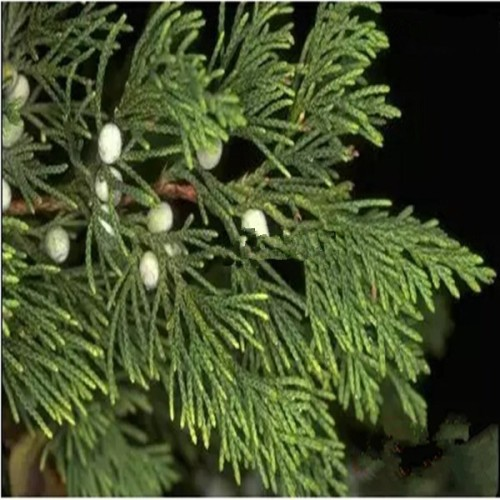 Cedar Leaf Thuja Essential Oil 2