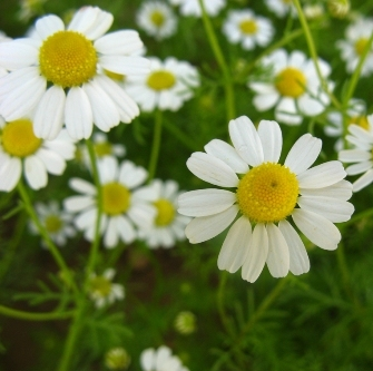 Chamomile German Nepal Essential Oil 5