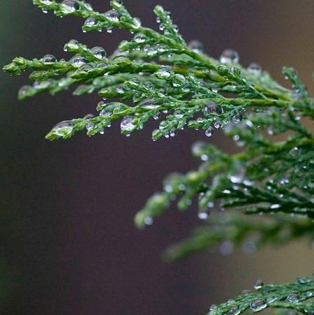 Cypress Leaf  4