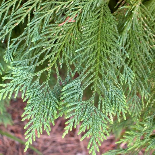 Cypress Leaf  5