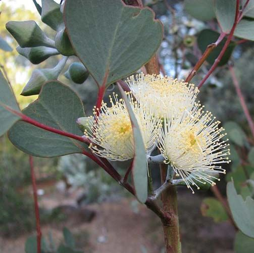 Eucalyptus Essential Oil Blue Mallee 3