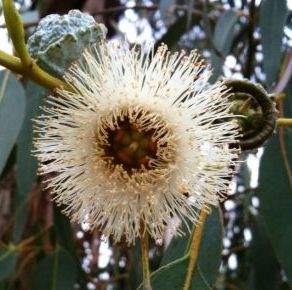 Eucalyptus Essential Oil Blue Mallee 5
