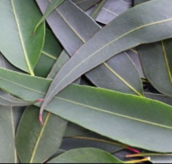 Eucalyptus Lemon Essential Oil China 3