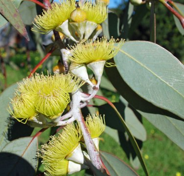 Eucalyptus Lemon Essential Oil China 4