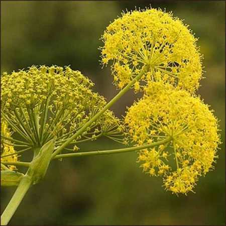 Galbanum Essential Oil 3