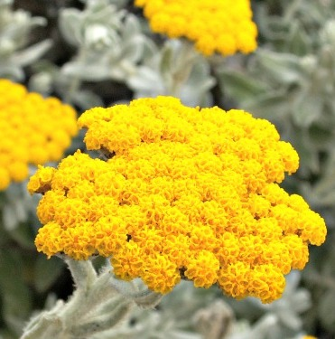 Helichrysum Floral Absolute Oil  2