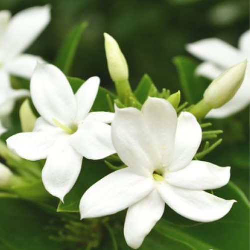 Jasmine Essential Oil 3