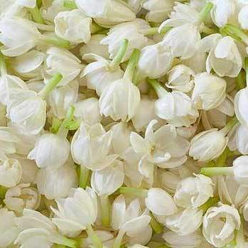 Jasmine Pure Floral Absolutes 3