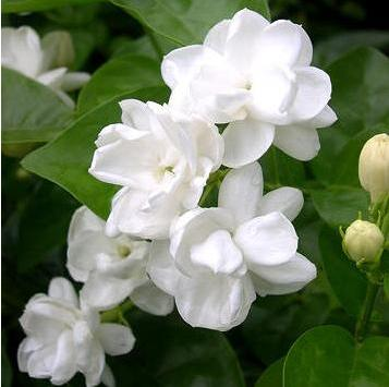 Jasmine Pure Floral Absolutes 2