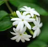 Jasmine Absolute  5