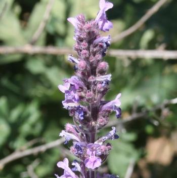 Lavender Essential Oil Spanish 2