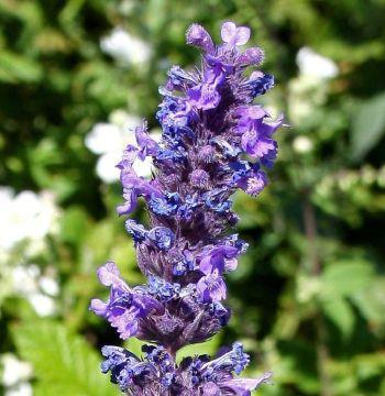 Lavender Essential Oil Spanish 4