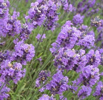 Lavender Essential Oil South African Cape Lavender 2