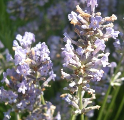 Lavender Essential Oil South African Cape Lavender 3