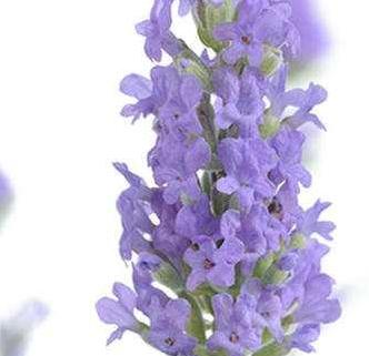 Lavender Essential Oil South African Cape Lavender 4