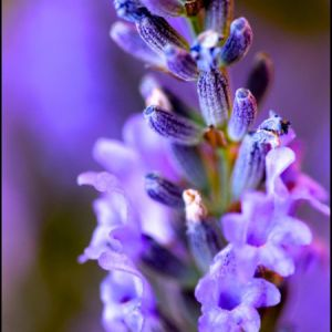 Lavender Essential Oil Bulgarian 2