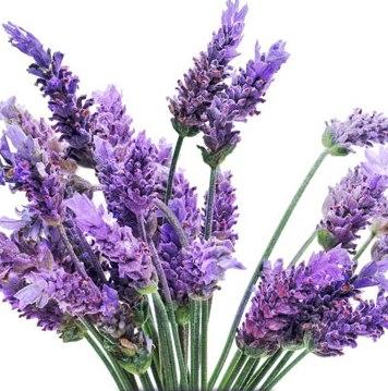Lavender Essential Oil Bulgarian 3