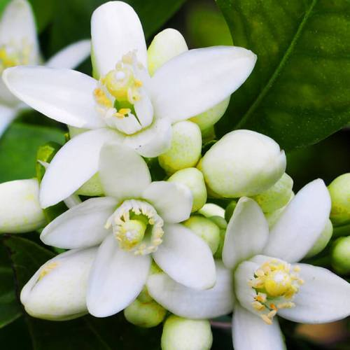 Neroli Egypt Essential Oil 5