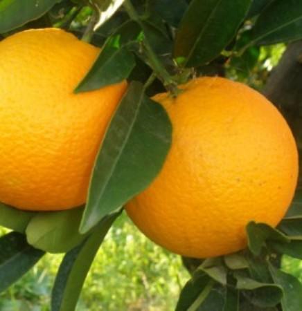 Sweet Orange Oil  3