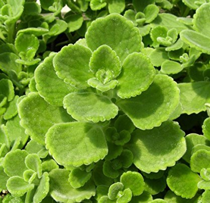 Origanum Vulgare Essential Oil 4