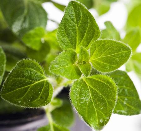 Origanum Vulgare Essential Oil 5