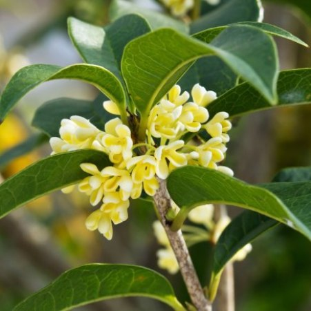 Osmanthus Natural Essential Oil  5