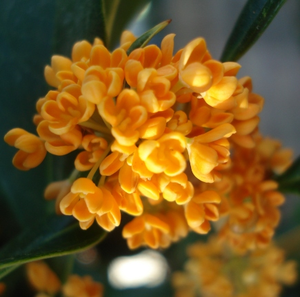 Osmanthus Natural Essential Oil  4