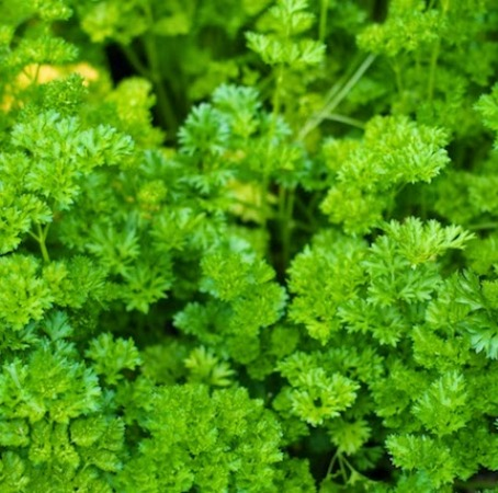 Parsley Essential Oil India 3