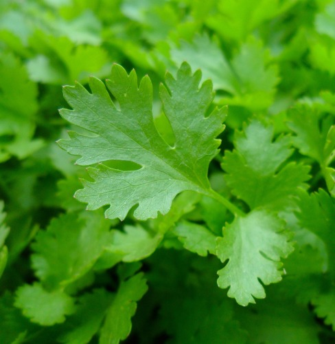 Parsley Essential Oil India 5