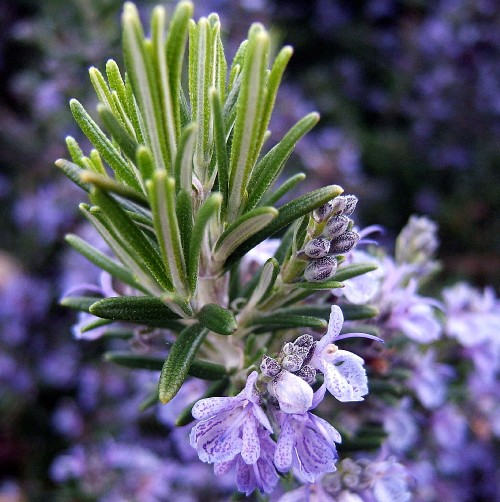 Rosemary Therapeutic Grade Essential Oils 3