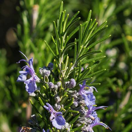Rosemary Morocco Essential Oil 2