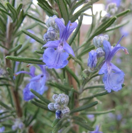Rosemary Morocco Essential Oil 5