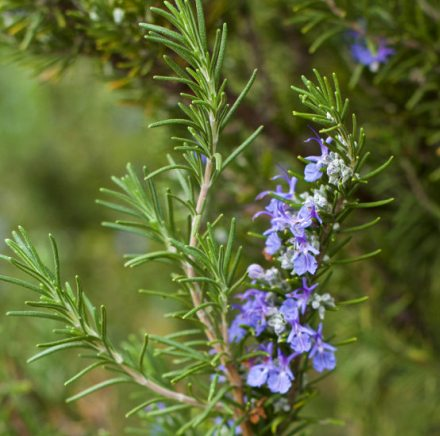 Rosemary Natural Essential Oils Spanish 2