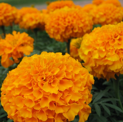 Tagetes Essential Oil Egyptian 2