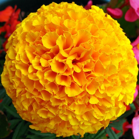 Tagetes Essential Oil Egyptian 5
