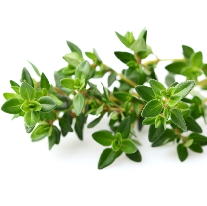 Thyme Essential Oil White 3