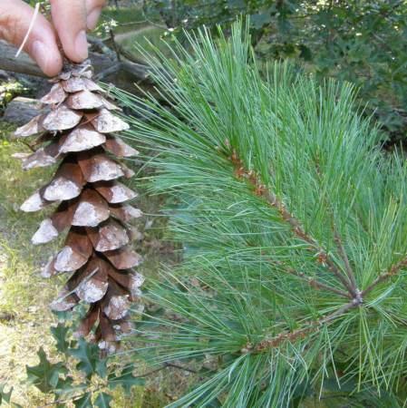 Pine (White) Needle Oil  2