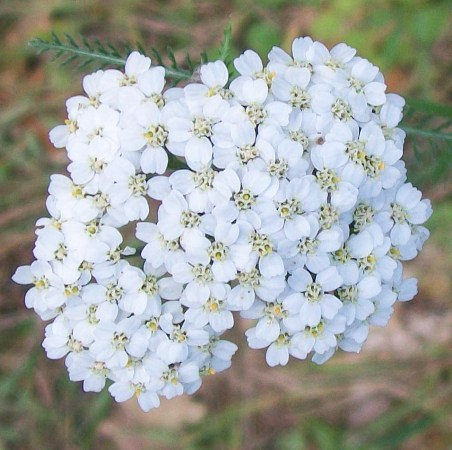 Yarrow Essential Oil Blue 3