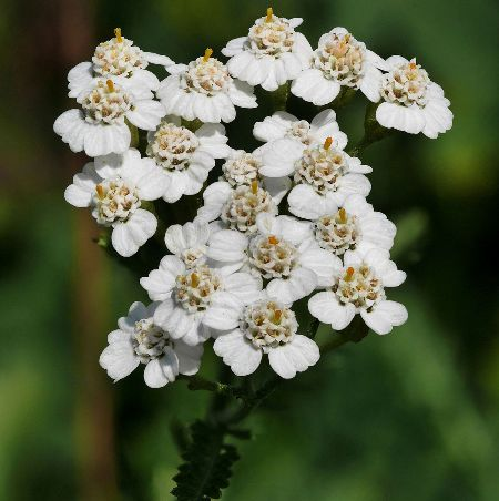 Yarrow Essential Oil Blue 5