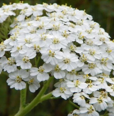 Yarrow Essential Oil Blue 4