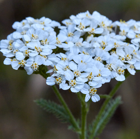 Yarrow Essential Oil Blue 2