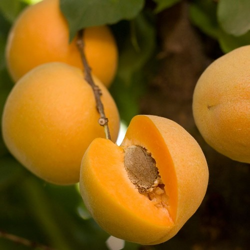 Apricot Kernel Carrier Oil - Cosmetic Grade - Refined 3